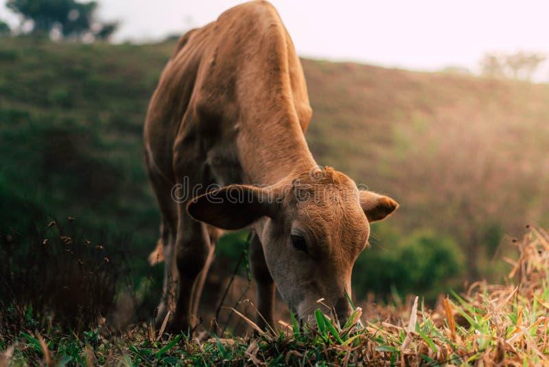 Sessão de foto a três vacas das irmãs durante o por do sol foto de stock