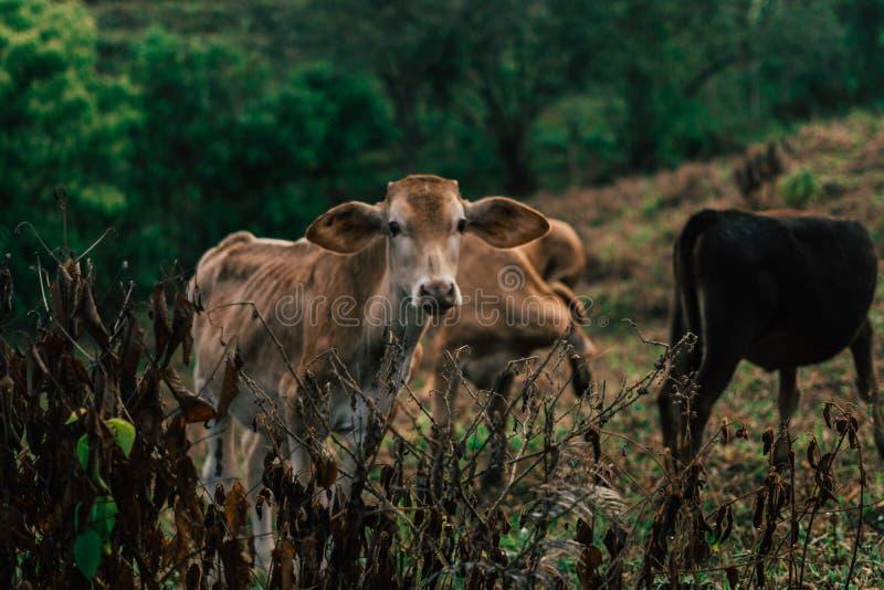 Sessão de foto a três vacas das irmãs durante o por do sol fotografia de stock