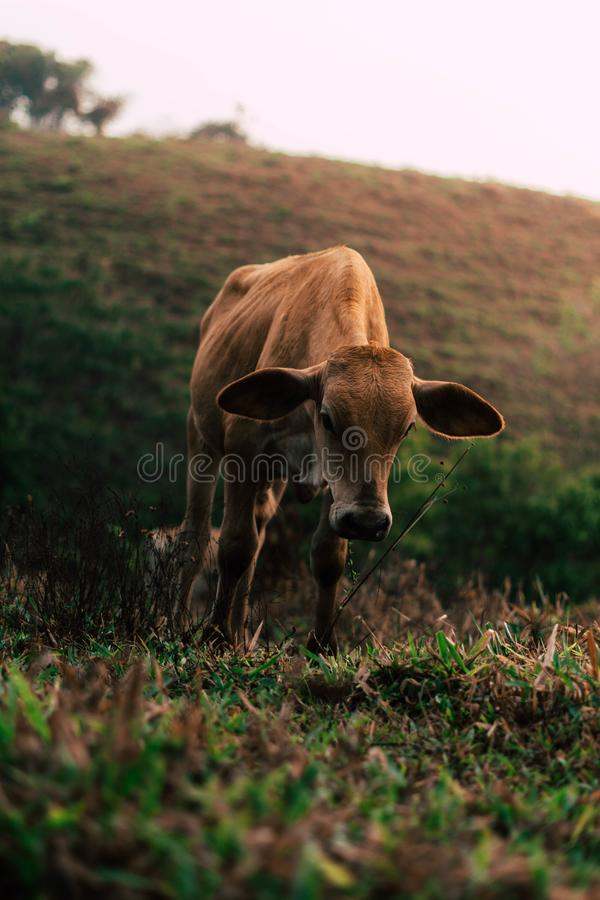 Sessão de foto a três vacas das irmãs durante o por do sol fotografia de stock royalty free