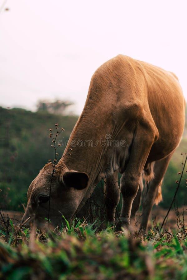 Sessão de foto a três vacas das irmãs durante o por do sol imagem de stock