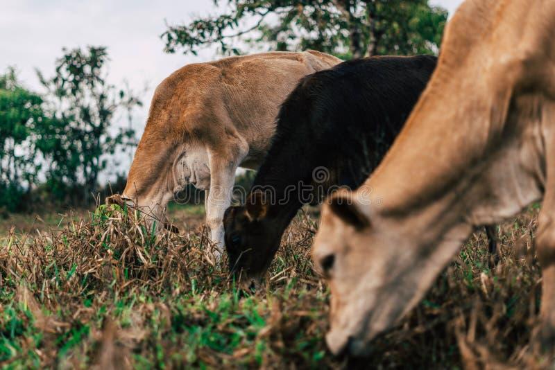 Sessão de foto a três vacas das irmãs durante o por do sol foto de stock royalty free