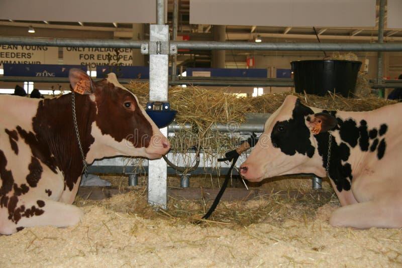 sessantacinquesimo Mucche da latte giuste del commercio internazionale fotografie stock libere da diritti