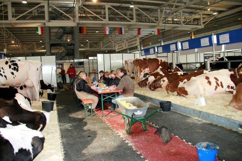 sessantacinquesimo Mucche da latte giuste del commercio internazionale immagini stock