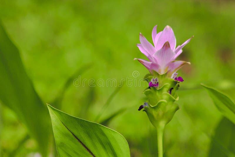 Sessilis куркумы, красивый пурпур, herbaceous завод стоковая фотография rf