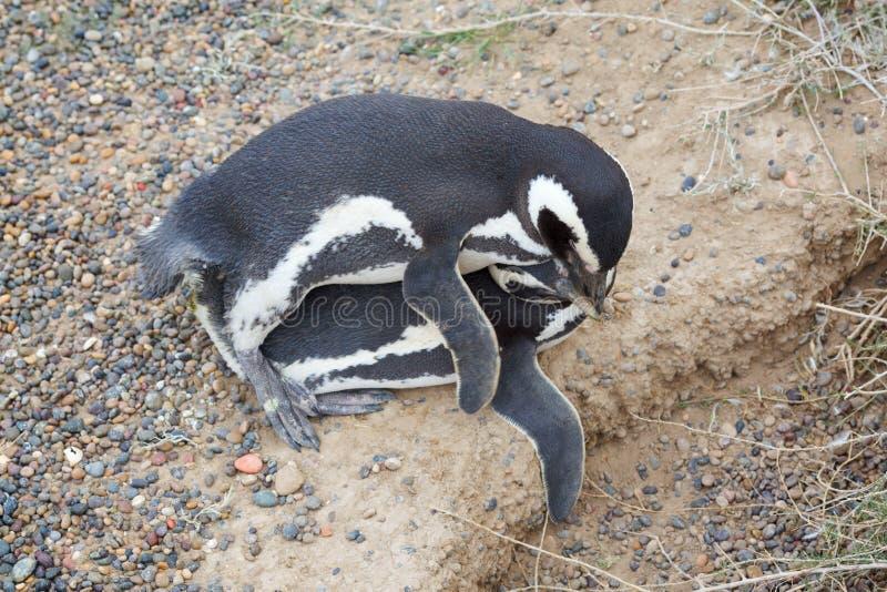 sesso dei pinguini fotografia stock libera da diritti