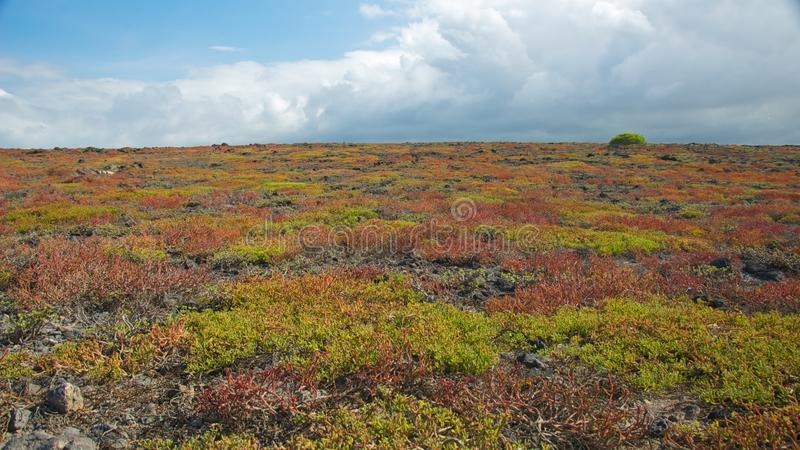 Sesuvium variopinto nell'isola del sud della plaza fotografia stock libera da diritti