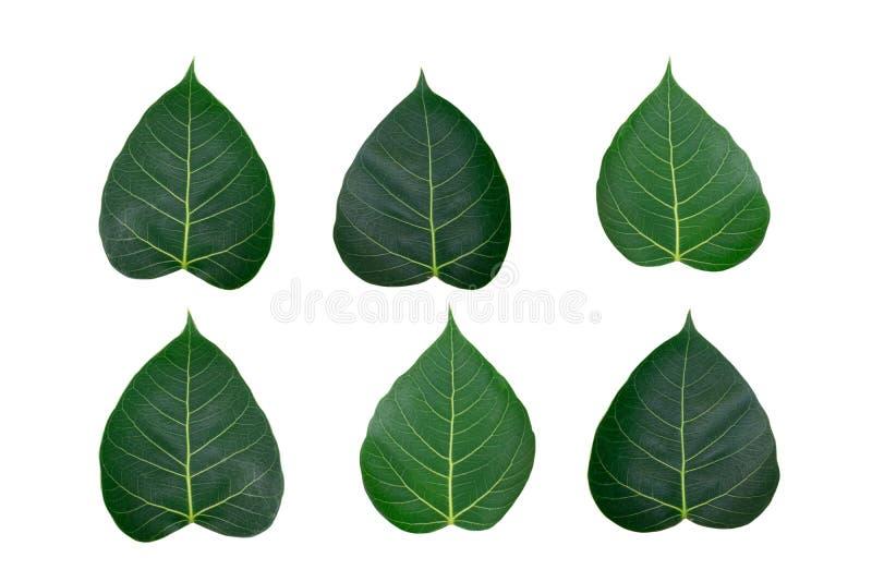 Set Świętej figi Bo urlop odizolowywający na białym tle zdjęcia stock