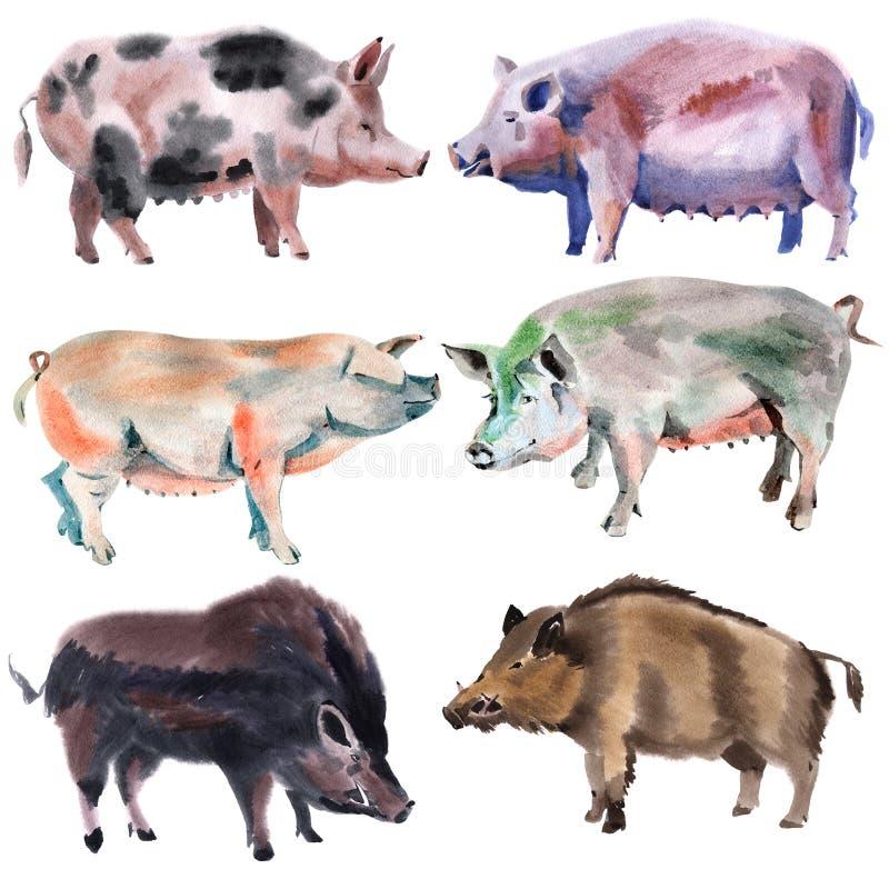 Set świnie Akwareli ilustracja w białym tle royalty ilustracja