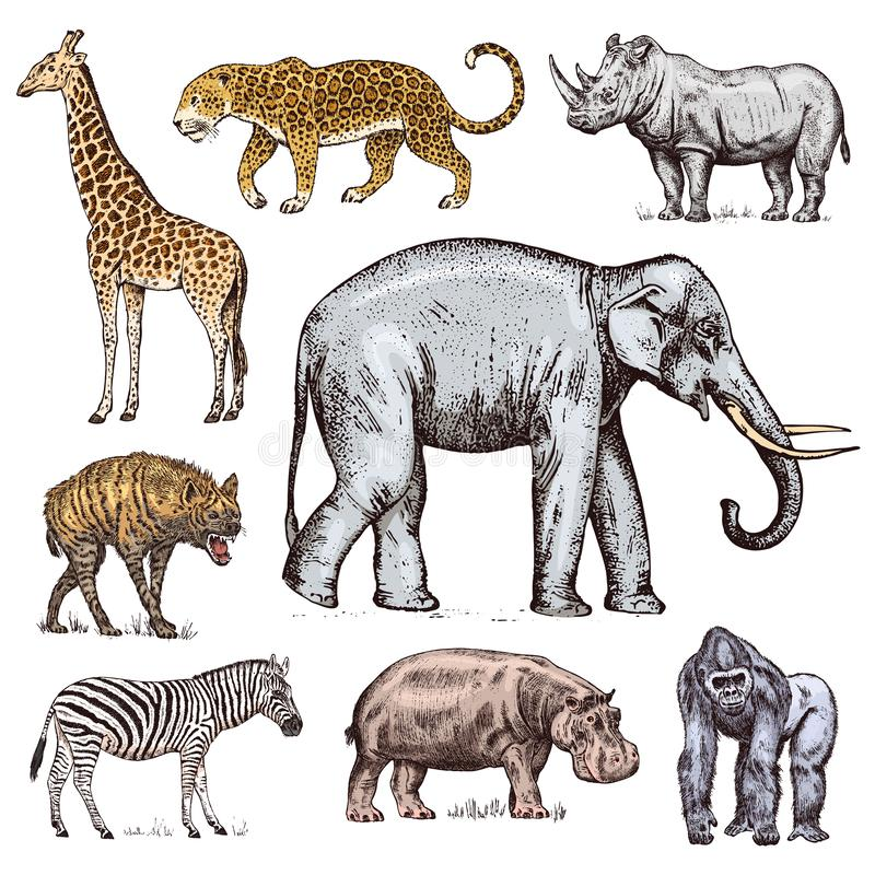 Set of African animals. Rhinoceros Elephant Giraffe Hippopotamus Leopard Hyena Western gorilla Wild zebra. Engraved hand stock illustration