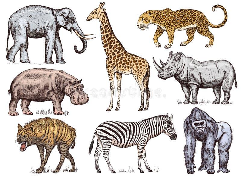 Set afrikanische Tiere Wildes Zebra des Nashorn-Elefant-Giraffen-Nilpferd-Leopard-Hyänenwestgorillas gravierte Hand vektor abbildung