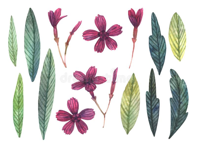 Set akwarela dziki goździk liście i ilustracji