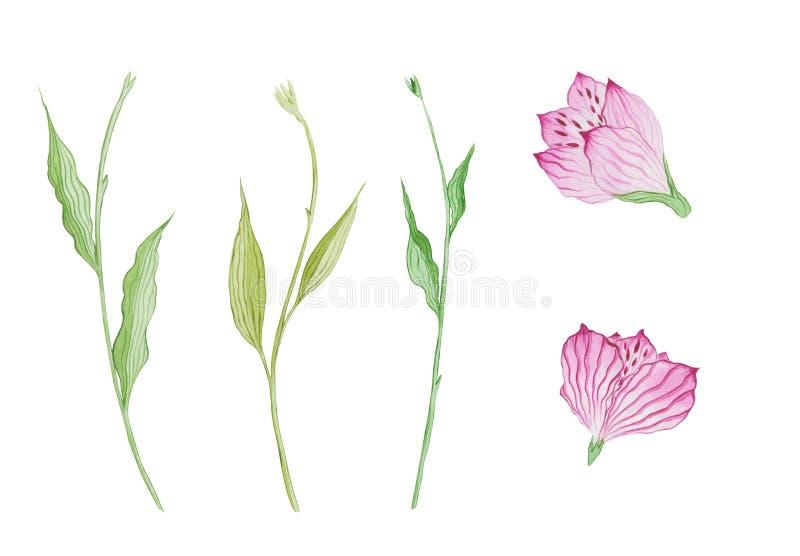 Set akwarela podkrada się i kwitnie Alstroemeria ilustracja wektor