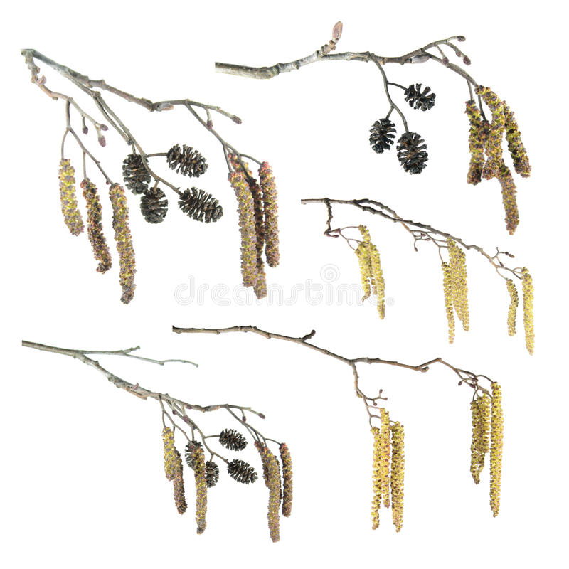 Set of alder branches with catkins isolated on white. Background stock photo