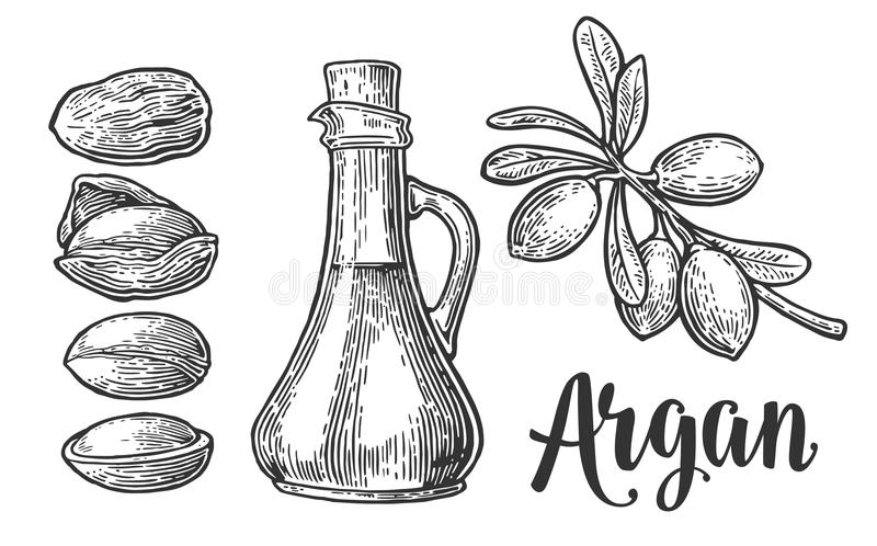 Set of argan branches, leaves, nuts. For packing oil creams. Vector vintage engraved illustration isolated on white. Background vector illustration