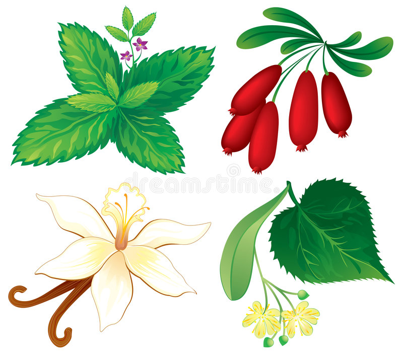 Set of aromatic plants. Vanilla, barberry, linden and mint royalty free illustration