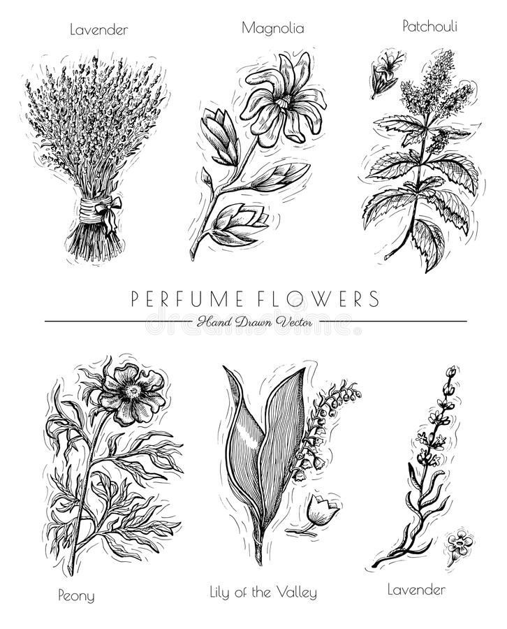 Set with aromatic plants. Graphic set with perfume flowers isolated on white - lavender, patchouli, peony, magnolia. Hand drawn engraved illustration. Vintage stock illustration