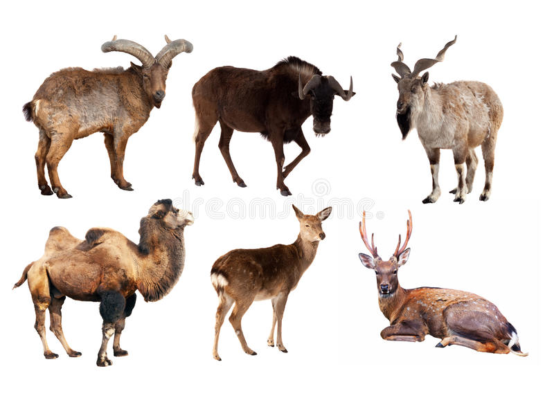 Set of Artiodactyla mammal animals stock images