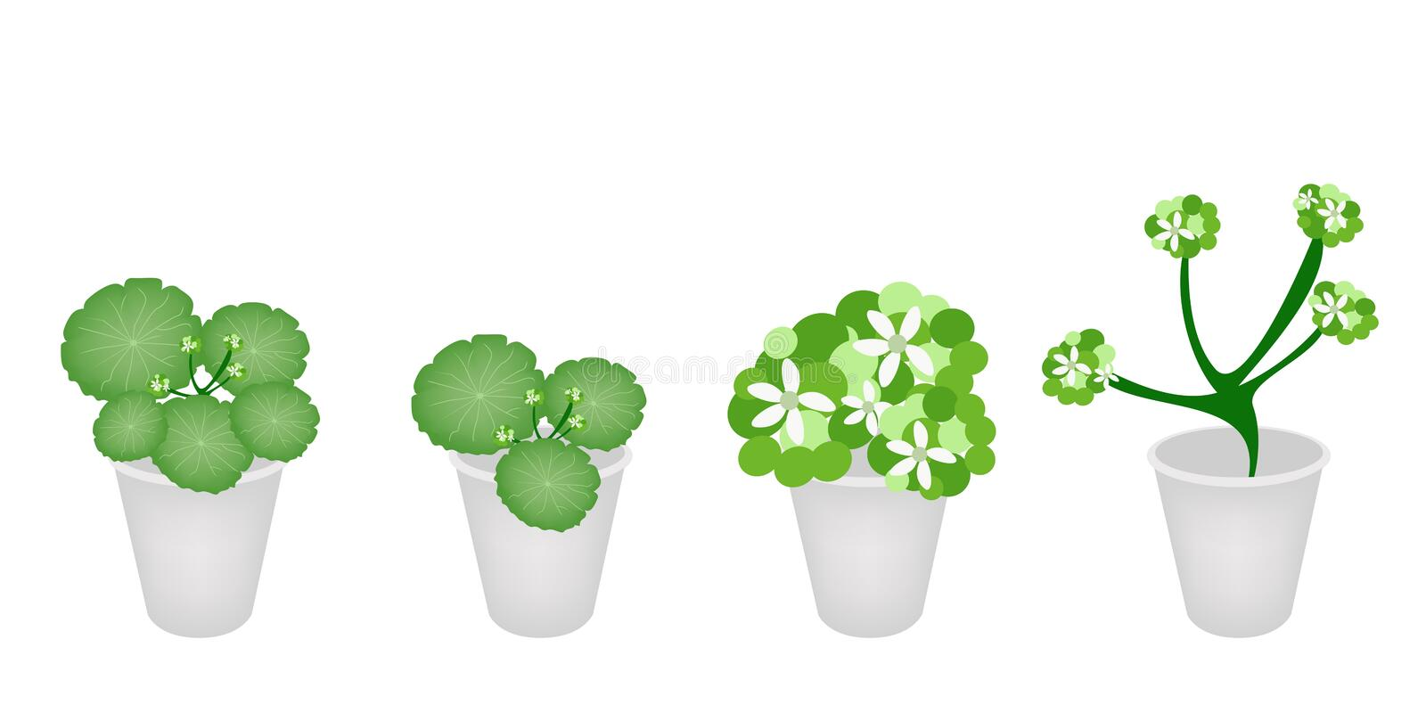 A Set Of Asiatic Pennywort In A Flower Pot Royalty Free Stock Photo