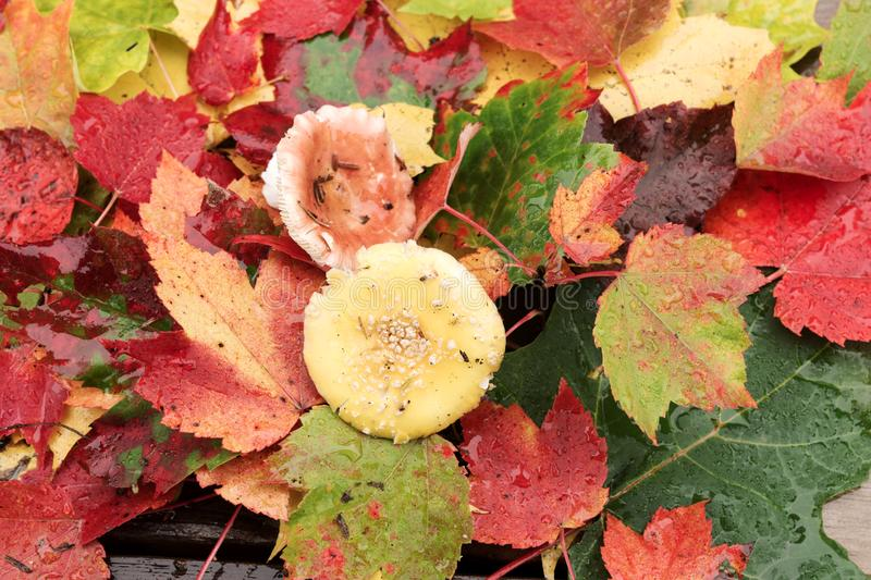 Set of autumn colorful leaves with mushroom in the middle royalty free stock photo