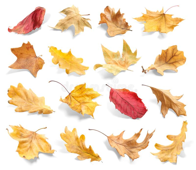 Set of autumn dried leaves. On white background royalty free stock images