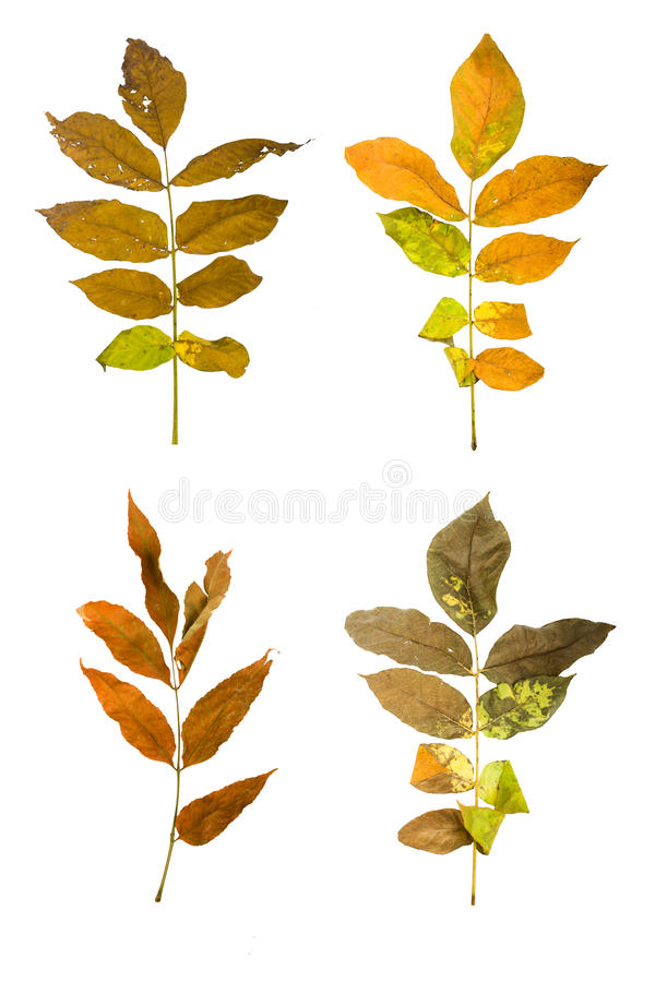 Set the autumn maple branch with leaves isolated royalty free stock photography