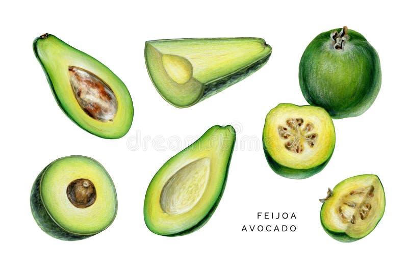 Set of avocado and feijoa. royalty free stock photo