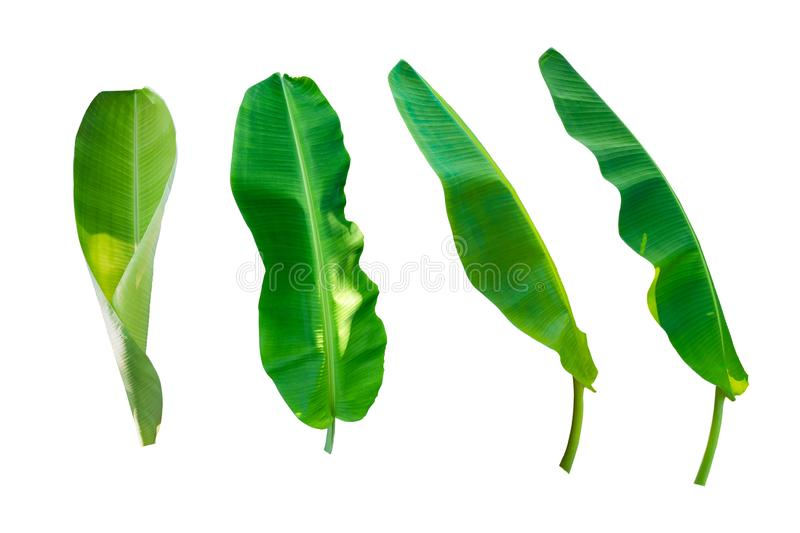 Set of banana leafs on white isolated background.  royalty free stock photos