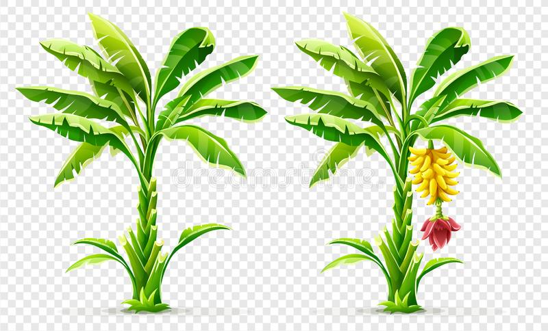 Tropical banana palm trees with fruits and leaves. Vector illustration. royalty free stock image