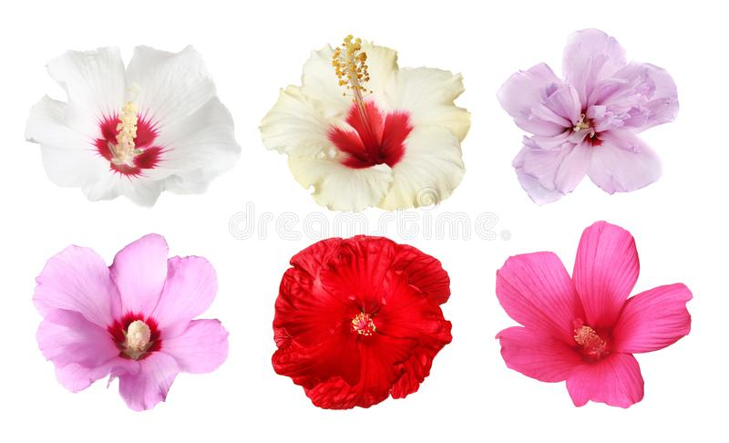 Set with beautiful tropical Hibiscus flowers stock photos