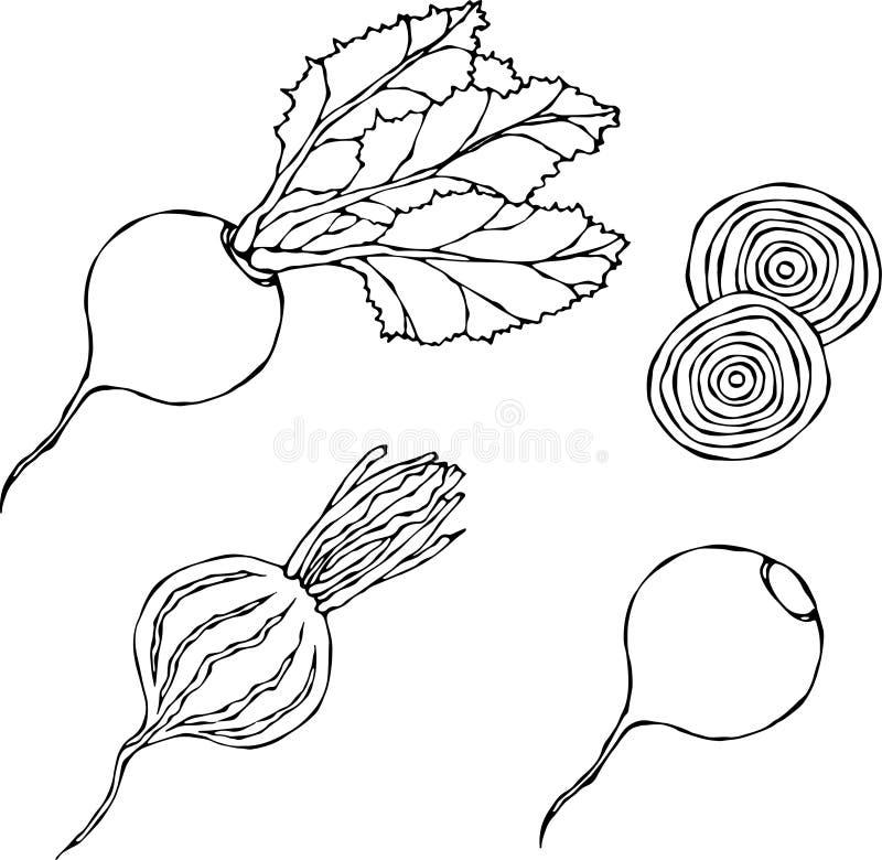 Set of Beet - Beetroot with Top Leaves and Half of Beet, Beet Without Leaves, Cut Beet Slices. Fresh Vegetable Salad. Hand Drawn V. Ector Illustration. Savoyar vector illustration
