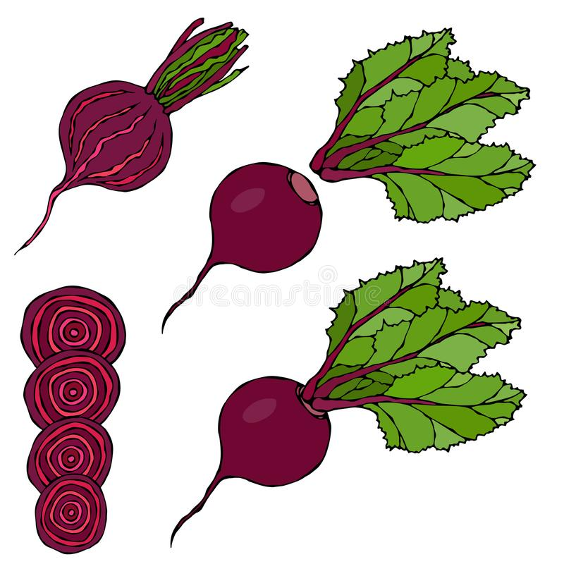 Set of Beet - Beetroot with Top Leaves and Half of Beet, Beet With Separated Leaves, Cut Beet Round Slices. Fresh Vegetable Salad. Hand Drawn Vector stock illustration
