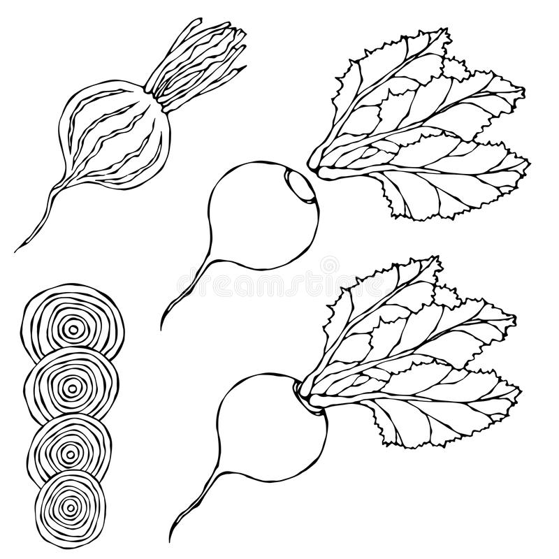 Set of Beet - Beetroot with Top Leaves and Half of Beet, Beet With Separated Leaves, Cut Beet Round Slices. Fresh Vegetable Salad. Hand Drawn Vector royalty free illustration