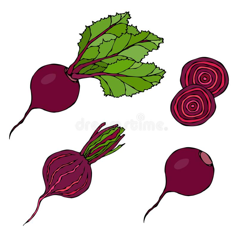Set of Beet - Beetroot with Top Leaves and Half of Beet, Beet Without Leaves, Cut Beet Round Slices. Fresh Vegetable Salad. Hand D. Rawn Vector Illustration vector illustration