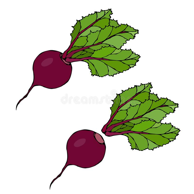 Set of Beet - Beetroot with Top Leaves, Beet With Separated Top. Fresh Vegetable Salad. Hand Drawn Vector Illustration. Savoyar Do. Odle Style vector illustration