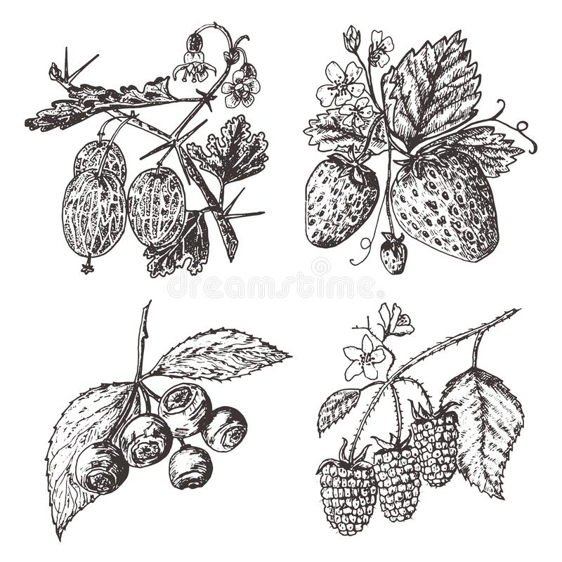 Set berries. raspberry, blueberry, strawberry, gooseberry. engraved hand drawn in old sketch, vintage style. Holiday vector illustration