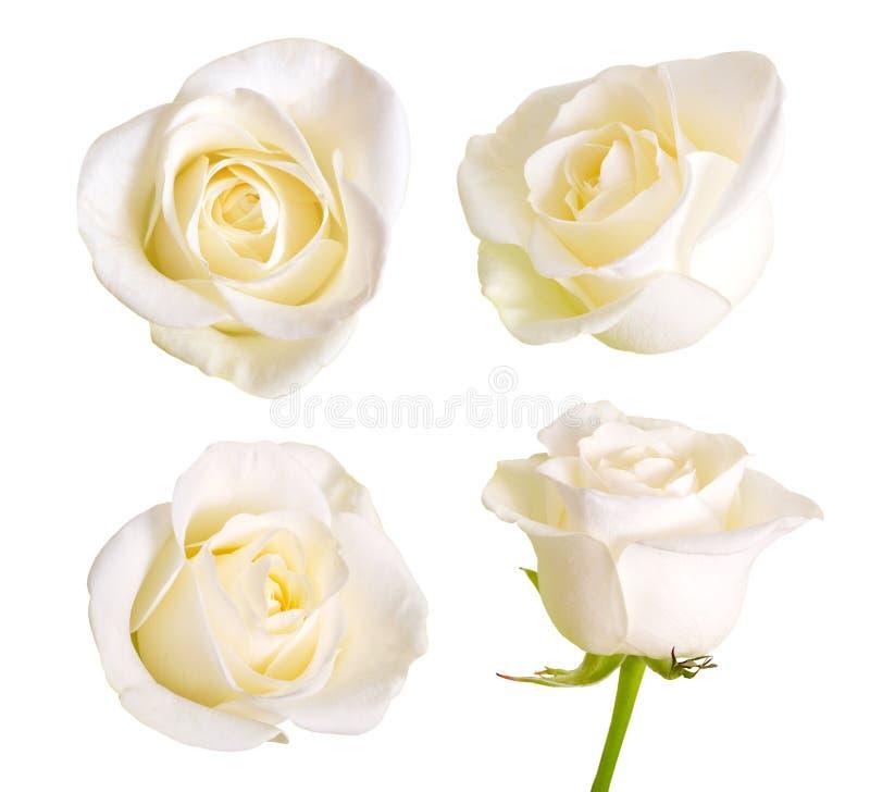 Set białe róże pojedynczy białe tło zdjęcie stock