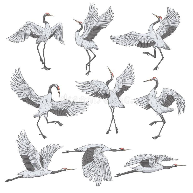 Set biali żurawie w różnych pozycjach ilustracji