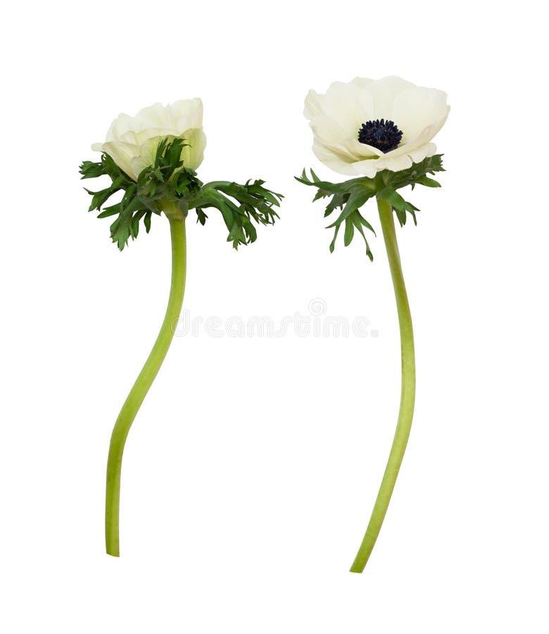 Set biali anemonowi kwiaty obraz royalty free