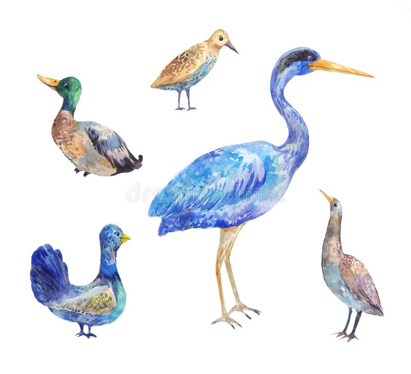 Set of birds living in a swamp. Heron, bittern, black royalty free illustration