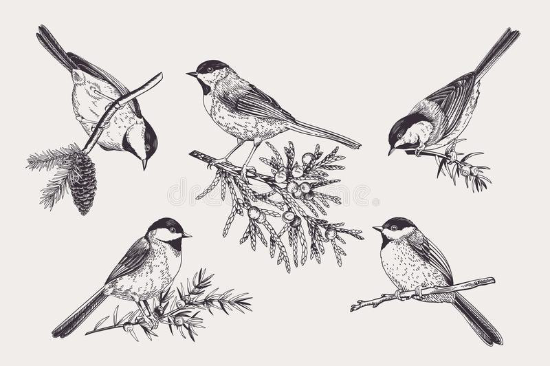 Set of birds. Chickadee on coniferous branches. Vector illustration. Black and white vector illustration