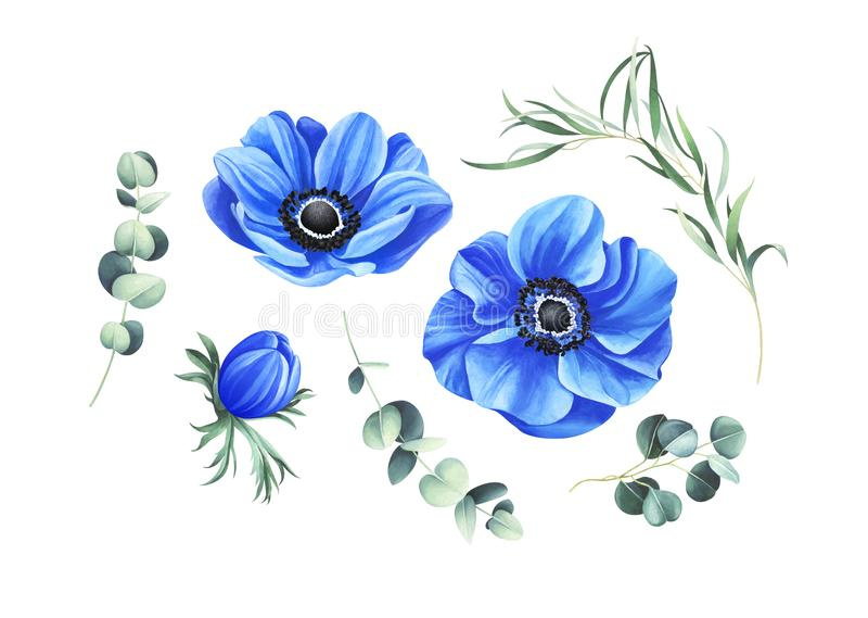 Set of blue anemones and eucalyptus branches isolated on white background vector illustration