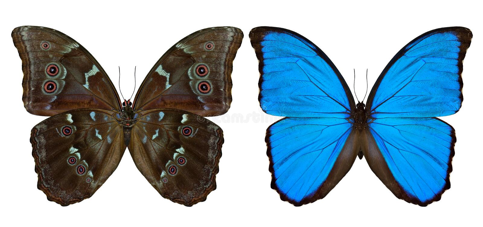 Set of Blue Morpho butterfly (disambiguation) or Sunset Morpho b. Oth upper and lower wing parts in natural color profile on white background, exotic blue stock photography