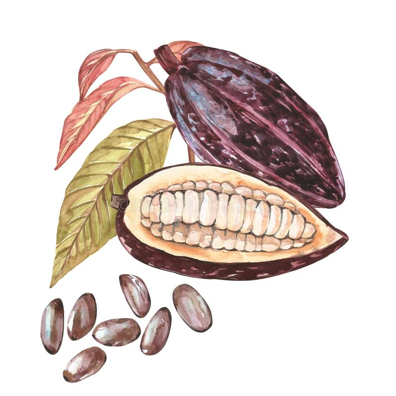 Set of botanical illustration. Watercolor cocoa fruit collection isolated on white background. Hand drawn exotic cacao vector illustration