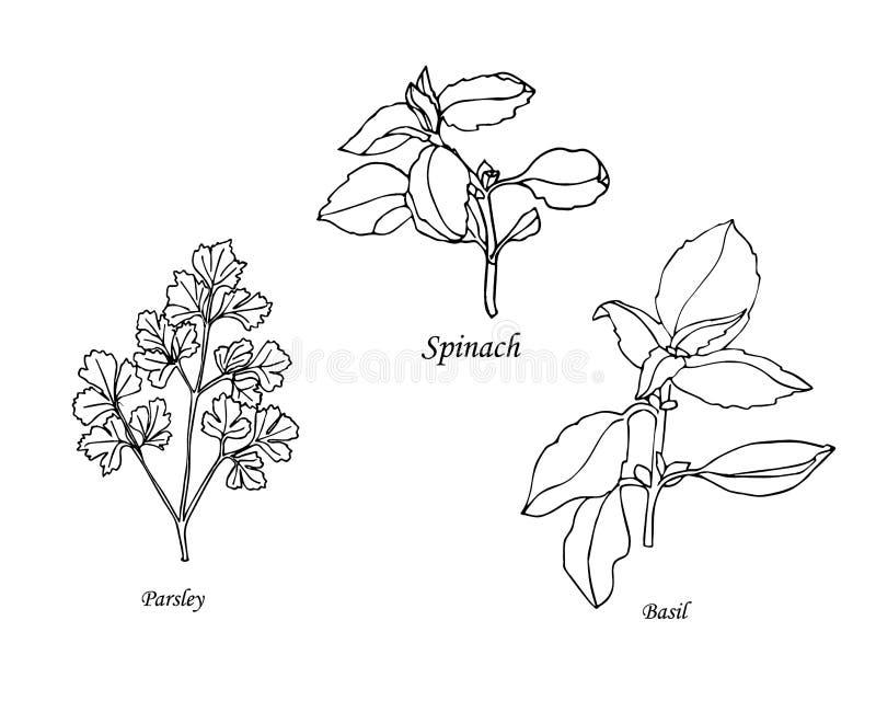 Set botaniczni ziele ręka patroszona royalty ilustracja
