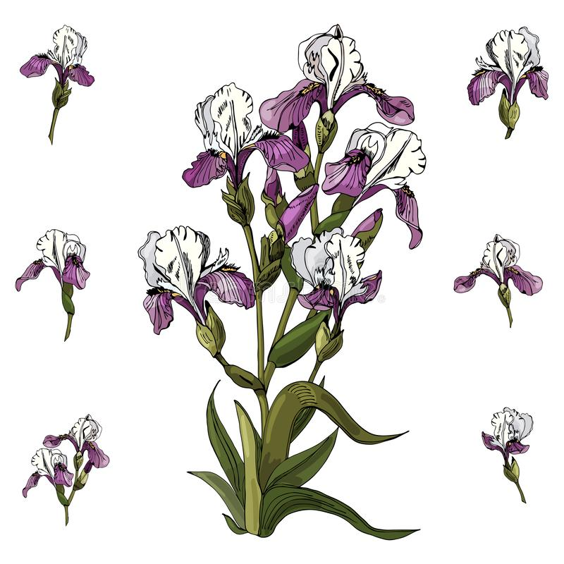 Set of bouquet  and single buds of iris flowers. Hand drawn ink and colored sketch. Collection of color  elements isolated on white background royalty free illustration