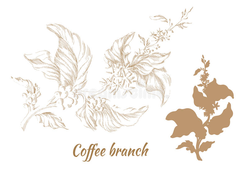 Set of branches of coffee tree with leaves and beans. Vector vector illustration