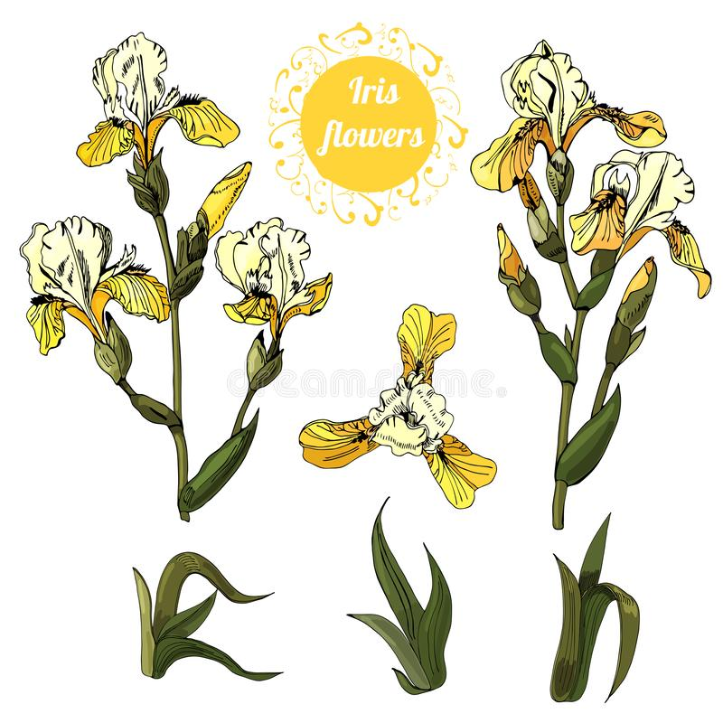 Set of  branches and leaves of yellow  iris flowers. Hand drawn ink and colored sketch. Collection  of color objects. Set of  branches and leaves of yellow royalty free illustration
