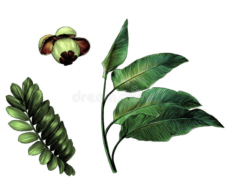 The set of branches of tropical trees with broad leaves and the fruit of the mangosteen stock illustration