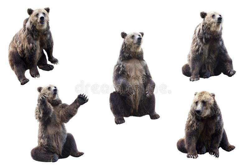 Set of brown bear over white background. stock images