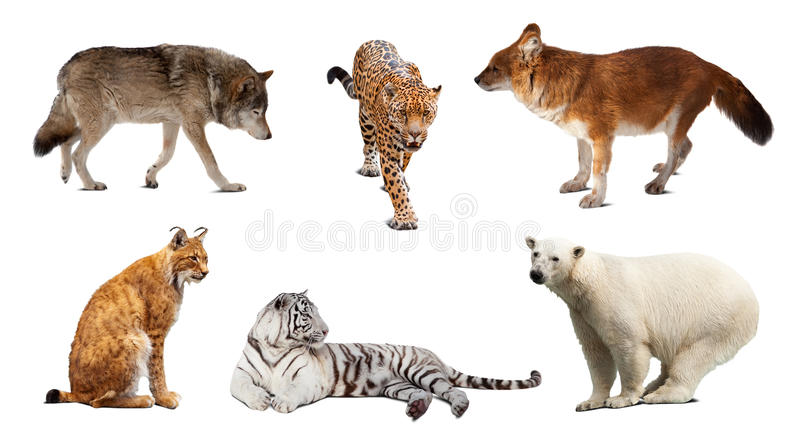 Set Of Carnivora Mammal Over White Stock Photography